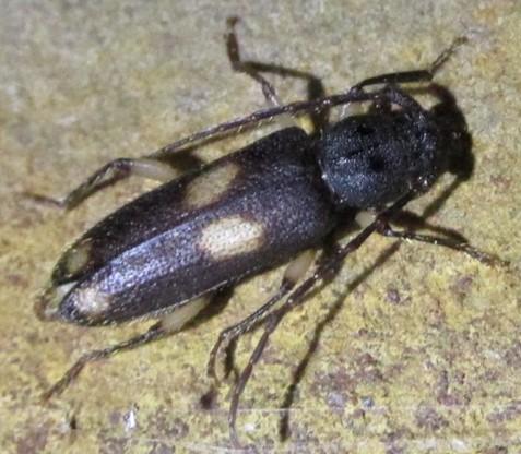 cerambycid 1 - Tylonotus bimaculatus