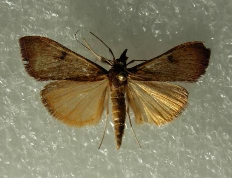 Lupine feeding Moth - Uresiphita reversalis