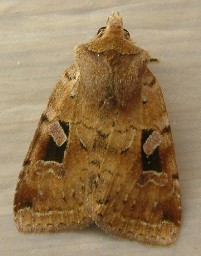 Unnamed Dart - Diarsia esurialis
