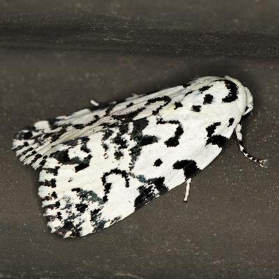 The Hebrew Moth - Hodges #9285 - Polygrammate hebraeicum