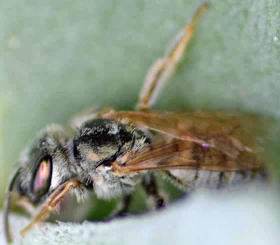 Small whitish bee - Halictus tectus