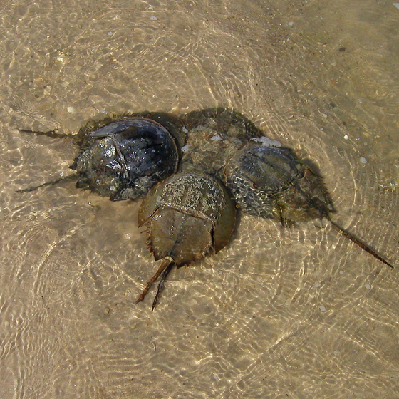 Atlantic horseshoe crab - Limulus polyphemus - male - female