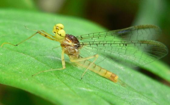 Stream Mayfly - Stenacron interpunctatum - male