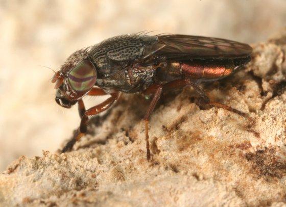 fly 58 - Notogramma purpuratum