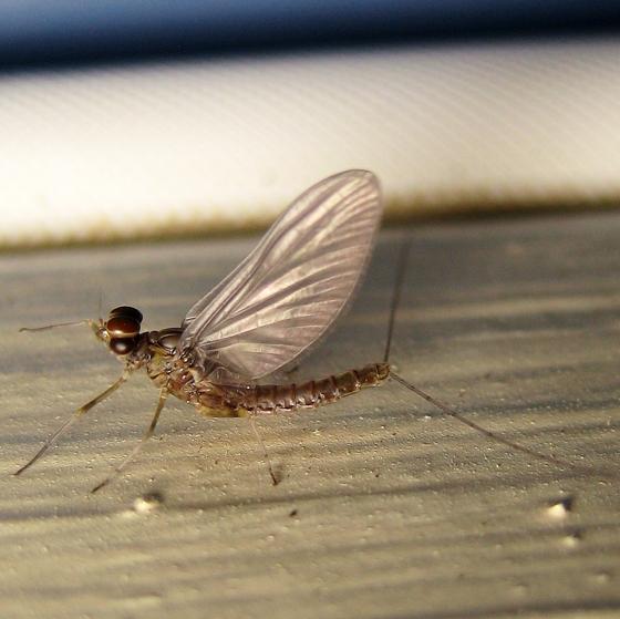 Baetidae - Callibaetis fluctuans