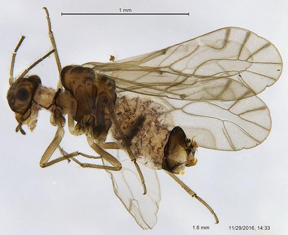 Ectopsocidae? - Lachesilla pacifica