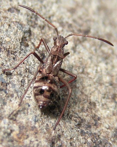 Broad-headed Bug Nymph