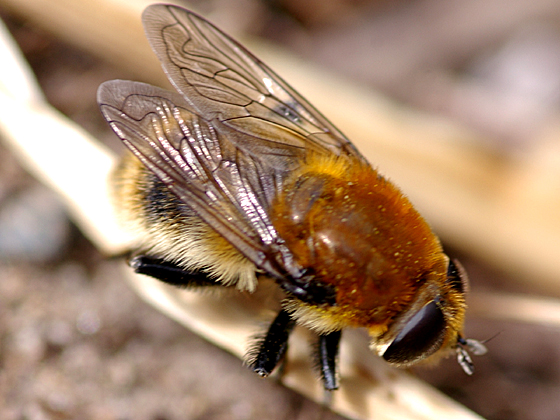 Syrphid Fly - Merodon equestris - female