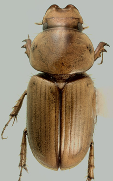 Drepanocanthoides larreae (Horn) - Aphodius larreae - male