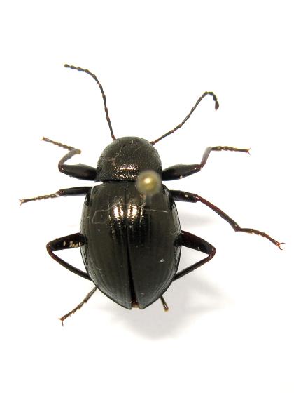 Darkling Beetle? - Meracantha contracta