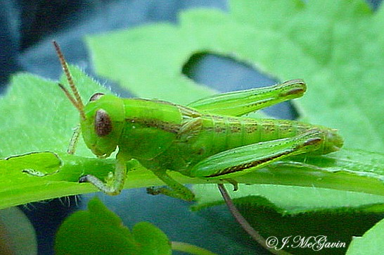 Green Grasshopper -immature - Melanoplus bivittatus - female