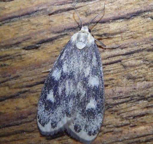 unknown moth - Bruceia pulverina