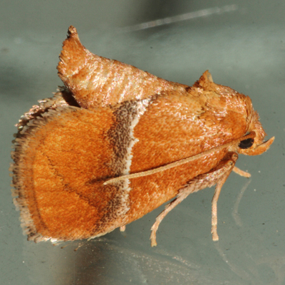 Graceful Slug Moth - Hodges #4664 - Lithacodes gracea
