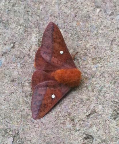 Oakworm moth - Anisota stigma - male