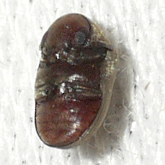 beetle - Tricorynus