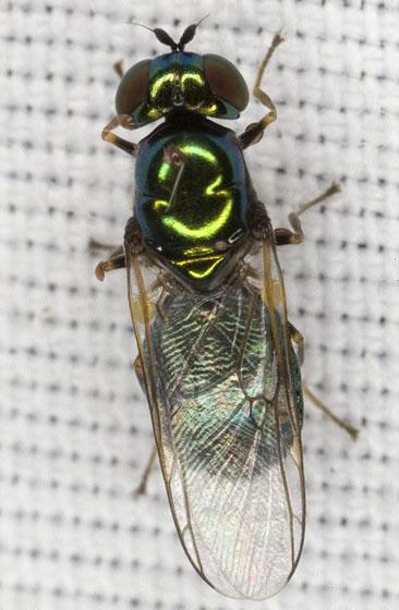 Fly 2160 - Microchrysa polita - female