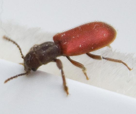 small metallic red beetle - Zenodosus sanguineus