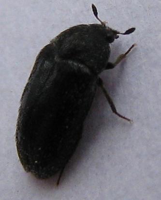 Black Carpet Beetle in California - Megatoma - female