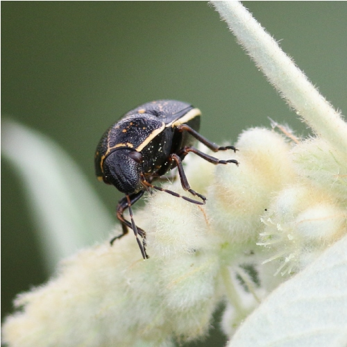 Beetle with only 5 antennomeres