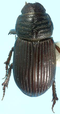 Neopsammodius werneri (Cartwright) - Neopsammodius werneri