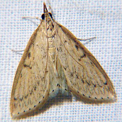 Crambid Snout Moth  - Hodges #4943 - Crocidophora pustuliferalis