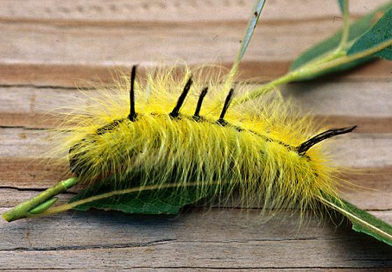 Cottonwood Dagger larva - Acronicta lepusculina
