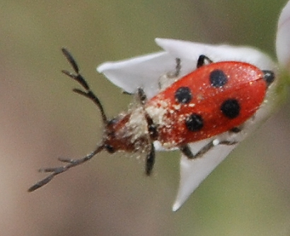 Unknown small beetle - Pelonides quadrinotata - male