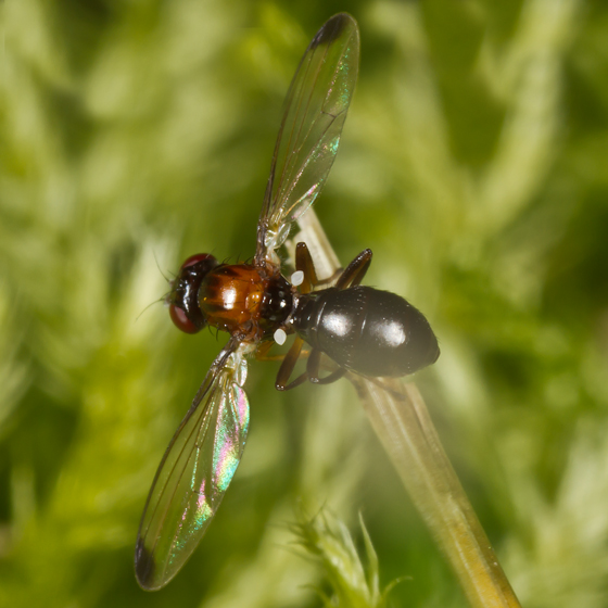 Unknown Fly - Mycetaulus