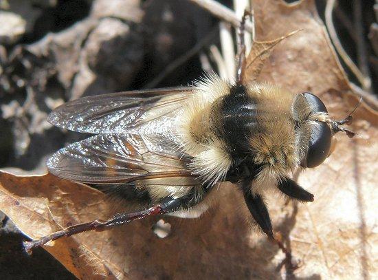 Syrphidae bumblebee mimic? - Criorhina verbosa - male