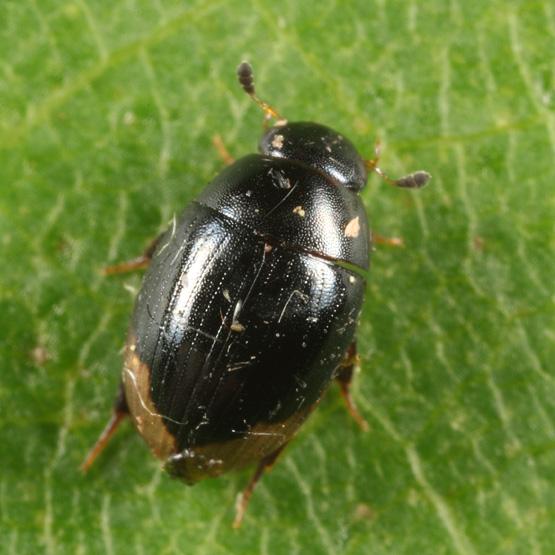 Water Scavenger Beetle - Cercyon praetextatus