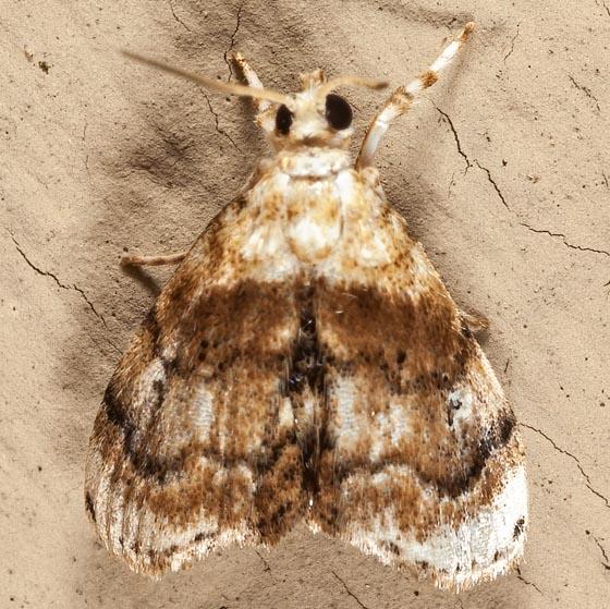 Exposed Lipocosma Moth? - Lipocosma septa