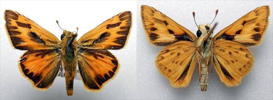 Hylephila phyleus (Drury, 1773) - Hylephila phyleus