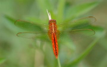 Dragonfly 2 - Crocothemis servilia