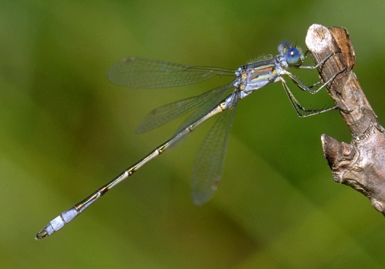 Lyre-tipped Spreadwing, male lateral - Lestes unguiculatus - male