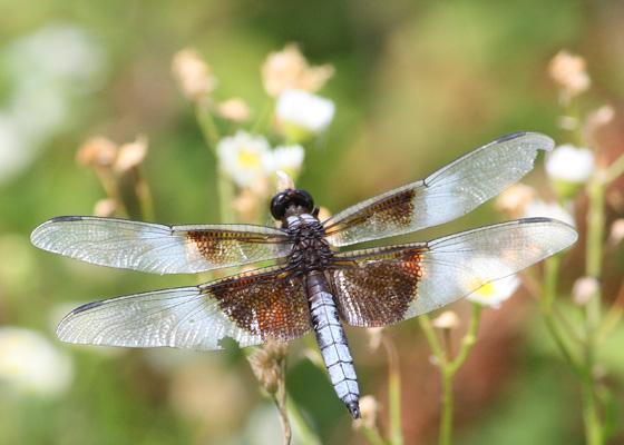 Widow Skimmer (Libellula luctuosa) - Libellula luctuosa