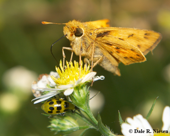 Skipper (Fiery?) and Cucumber Beetle - Hylephila phyleus