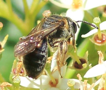 Lasioglossum or Halictus or something else? - Andrena alleghaniensis