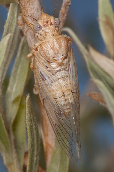 Okanagodes gracilis? - Okanagodes gracilis - male