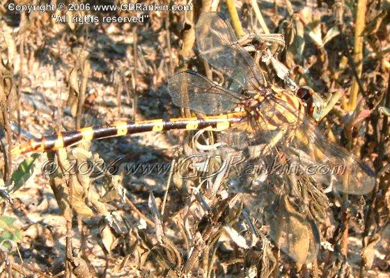 Four-striped Leaftail - Phyllogomphoides stigmatus
