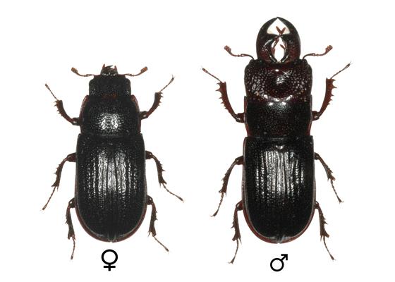 Ceruchus piceus - male - female