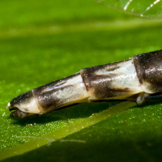 Mayfly ID - Siphlonurus alternatus