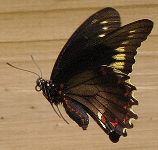 i FINALLY managed to photograph one of these - Battus polydamas - female