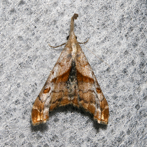 Dark-spotted Palthis - Palthis angulalis