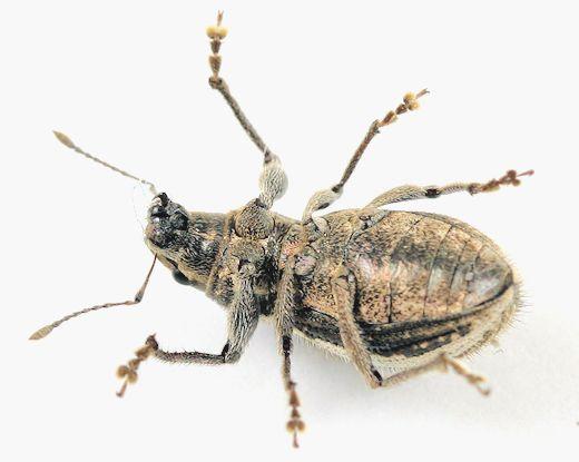 Curculionidae - ? - Naupactus leucoloma