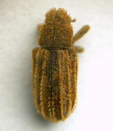 Acamptus echinus