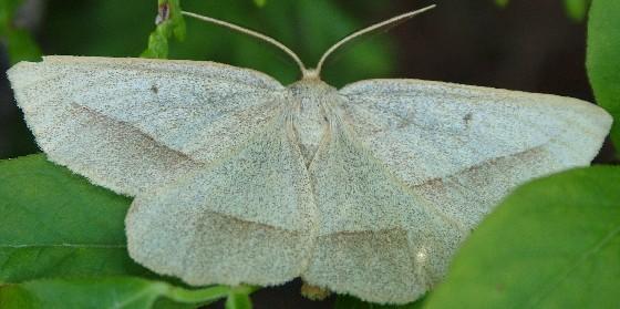 Pale Moth - Euchlaena irraria - male