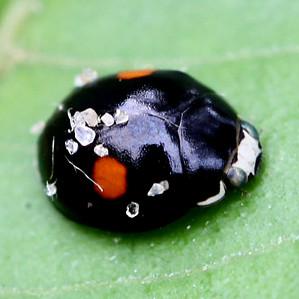 Lady Beetle - Hyperaspis conviva - male