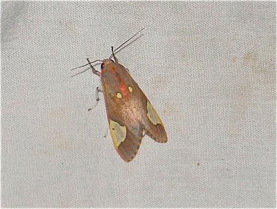 Colorful Moth - Bertholdia trigona