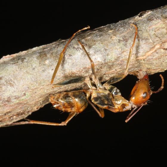 Ant fungus victim - Camponotus castaneus - female