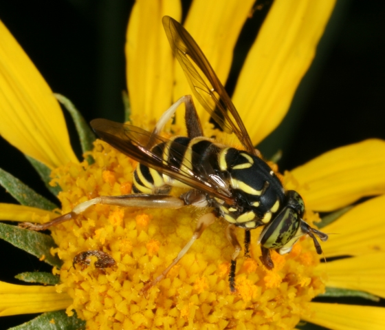 fly 138 - Spilomyia crandalli